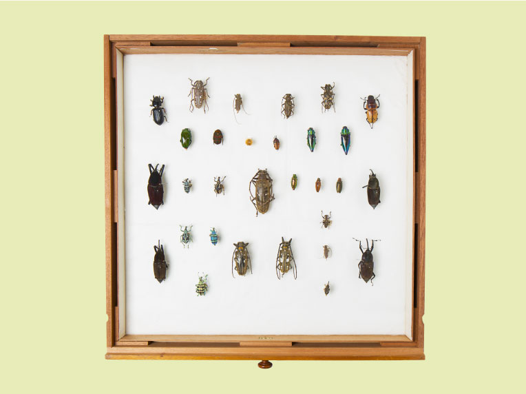Beetles collected by Alfred Russel Wallace